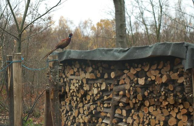 DSC_7565 pheasant