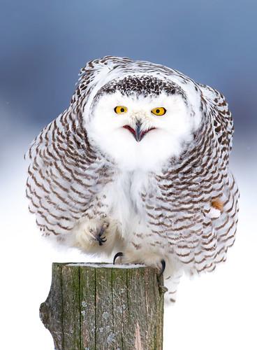 Happy Dance - Snowy Owl