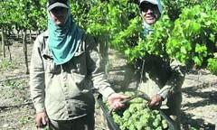 Arrancó San Juan con la cosecha de uvas para vinos de alta gama