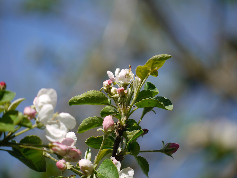 Antique apple tree blossoms