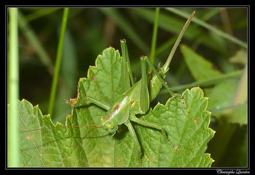 Grande sauterelle verte femelle, stade larvaire (Tettigonia viridissima)