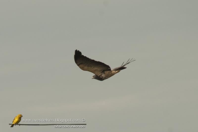 Águila mora (Blacl-chested Buzzard-Eagle) Geranoaetus melanoleucus