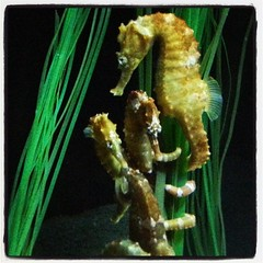 seahorse, animal, fauna,
