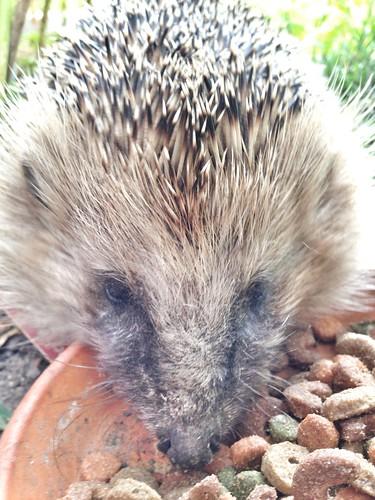 hedgehog 2014