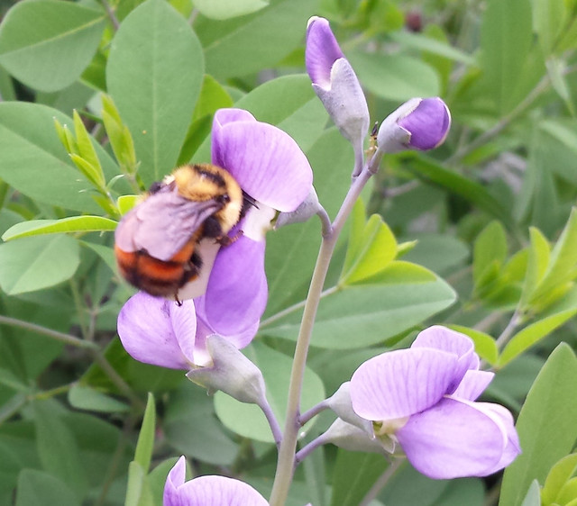 out-of-focus bumblebee, yellow on top and orange on bottom, on baptisia