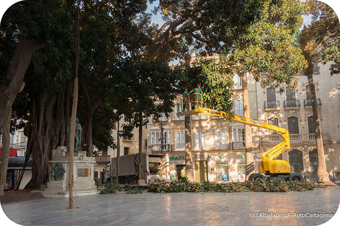 Podan los ficus centenarios de Cartagena