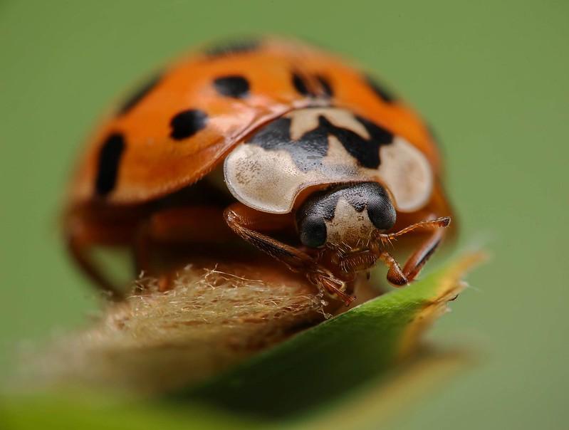 Zombie Ladybird.