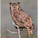 Great Horned Owl by BN Singh