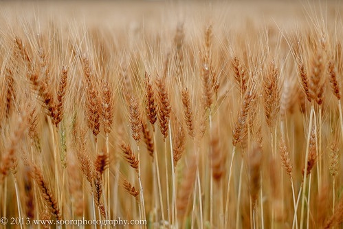 ontario canada fuji wheat nepean