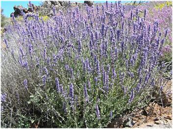 La hierba gatera o catnip: qué es y para qué sirve 9421885498_9d6af35c2c