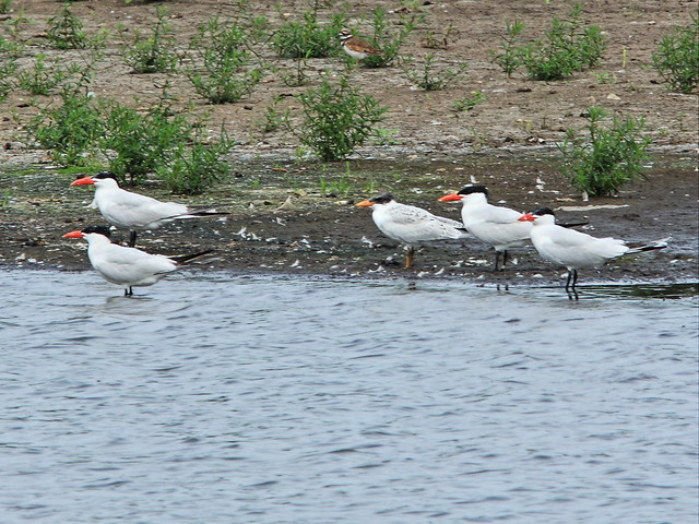 Caspian Terns-- one is banded 20130812