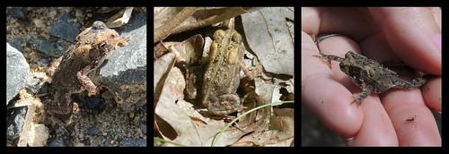 montague toads