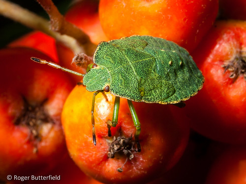 Shieldbug Nymph by Roger B.