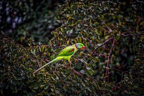 india parrot punjab kapurthala sultanpurlodhi bersahib