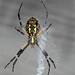 black & yellow garden spider (Argiope aurantia) by gapowell