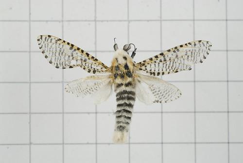 大斑點豹蠹蛾