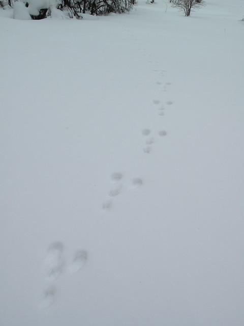 横に2つ,縦に2つが特長のウサギの足跡.