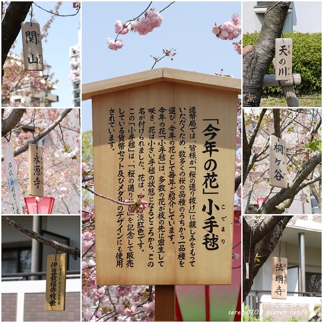 201204關西-D4-P127櫻花大集合3