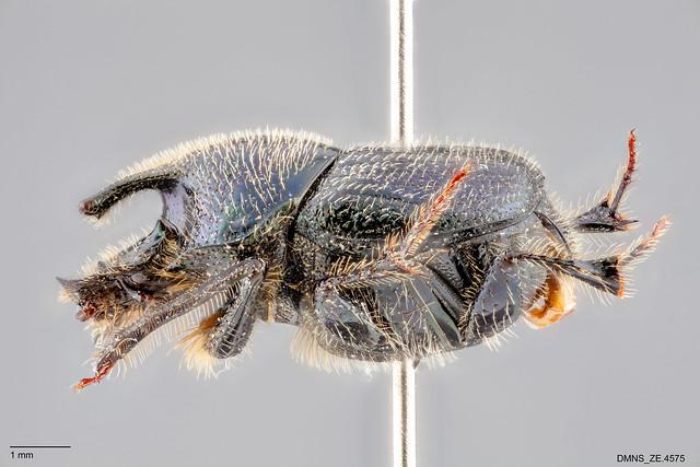 Onthophagus_orpheus_pseudorpheus_ZE.4575_lateral
