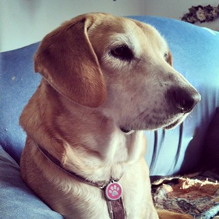 Sophie waiting for her morning treat... A @caseyjonesbones of course! #dogstagram #houndmix