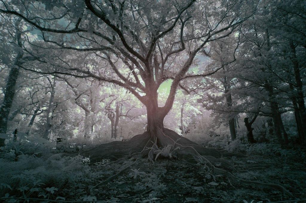 紅外線攝影,銀板樹根,一張