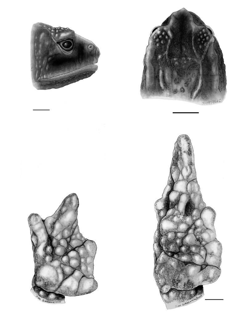 <i>Osornophryne bufoniformis</i> Osornosapo bufoniforme