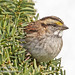 White-throated Sparrow Closeup