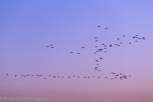 Sky Writers (Migrating Sandhill Cranes, Central California)