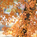 maple leaves in  autumn colours by snowshoe hare