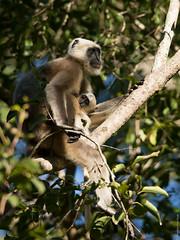 squirrel monkey(0.0), lemur(0.0), animal(1.0), branch(1.0), monkey(1.0), mammal(1.0), fauna(1.0), old world monkey(1.0), new world monkey(1.0), macaque(1.0), wildlife(1.0),