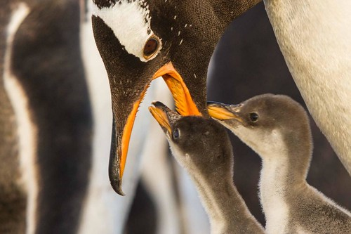 Gentoo chicks feeding by Derek Pettersson