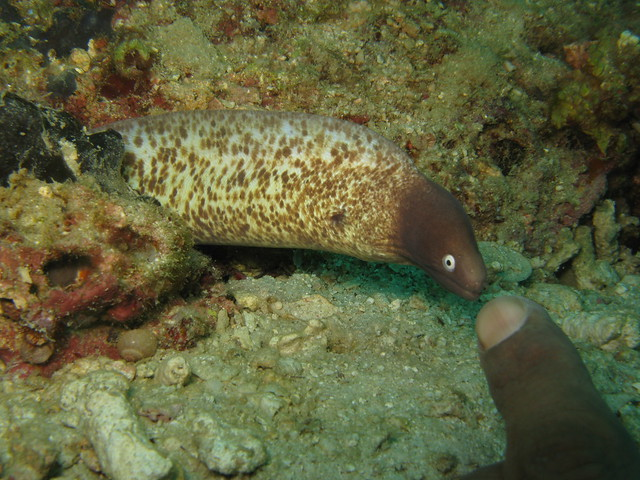 I said tiny moray eel
