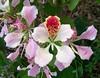 Bauhinia monandra by Oriolus84
