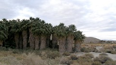 #3765 desert/Arizona/California fan palms (ワシントンヤシ)