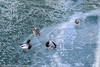 Ducks on frozen river
