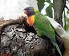023 Rainbow Lorikeet at nest hole by Jen 64