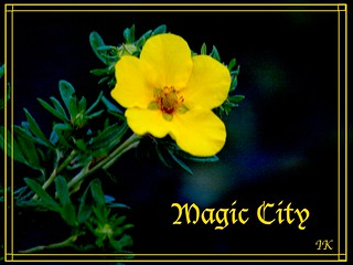 Potentilla Magic City