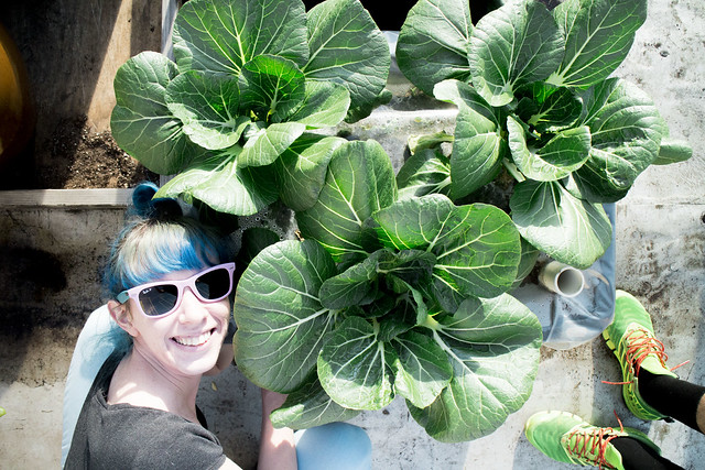 First Bok Choy Harvest 2014_2