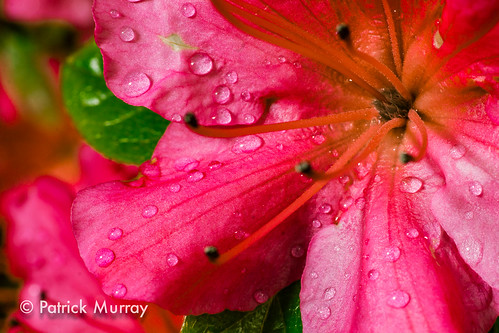 Rhododendrons_5