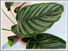 Closeup: variegated leaf of Calathea ornata 'Sanderiana' (Calathea Broad Leaf, Striped Calathea, Pin-stripe Plant), 18 June 2014