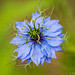 Love in a mist (Nigella damascena) variety 'Miss Jekyll'