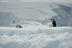 Chinstrap Penguins Posing