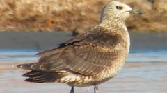 Pomarine/Parasitic Jaeger, Pyramid Lake, Washoe Co. NV.