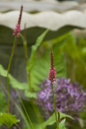 persicaria firetail v