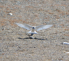 CA Least Tern adult with chick Alameda Point