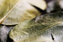 Kaffir Lime 1