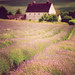 Cotswold Lavender by Andrew Lockie