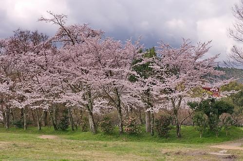 【写真】2013 桜 : 大覚寺/2020-09-15/IMGP9433