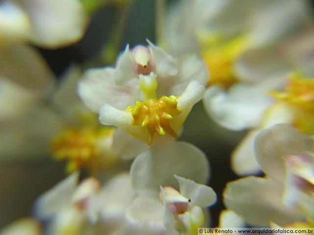 "1014 - Oncidium Twinkle ""Fragrance Fantasy"""