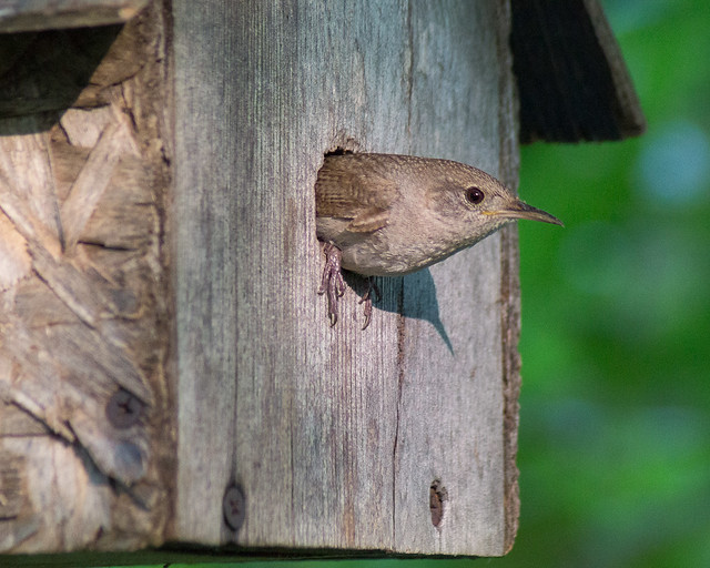House Sitting House Wren